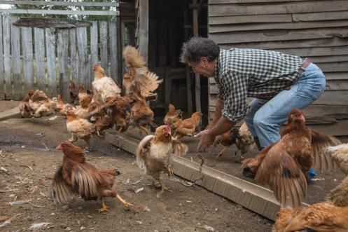 Hoy cenamos gallina.