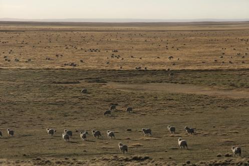Las ovejas pastan por un océano de pampa hasta que se pierden en el infinito.