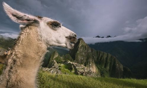 Las llamas pastan tranquilamente a lo largo de la ciudadela del Machu Pichu.