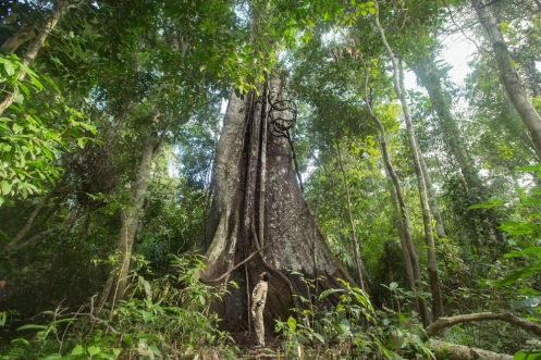 Mi padre bajo un Wimba gigante de la selva.