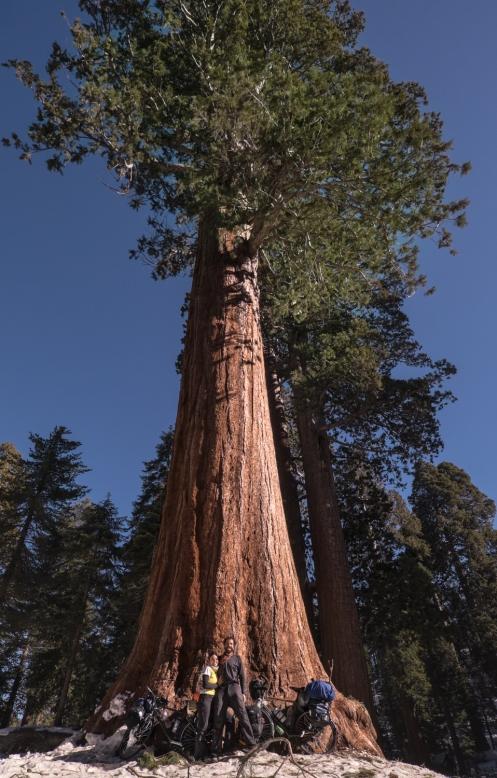 Plantarse bajo una sequoia es simplemente impresionante
