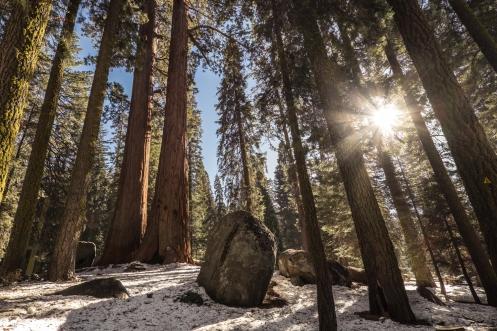 Los bosques de pino y sequoias pintados por la nieve y el sol son la mejor compañia para estos dias.