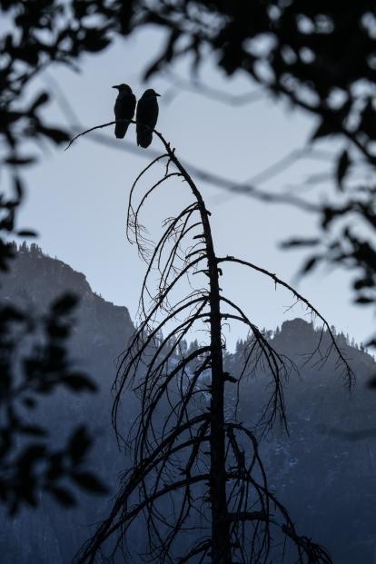 Dos cuervos tontean al atardecer sobre el valle de Yosemite.