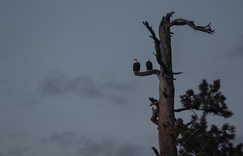 Dos águilas nos acompañan al final del día. Foto de Bea.