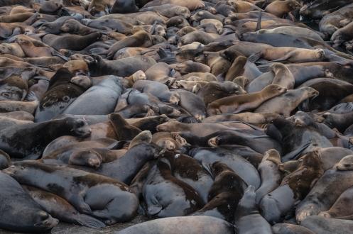 La costa pacífica esta llena de leones marinos, y casi siempre se juntan en grandes grupos a descansar.