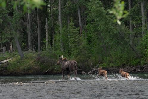 Una mamá alce cruza el río con sus dos crías frente a nosotros.