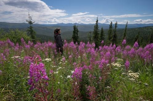 Los frecuentes incendios del verano dan paso a estos maravillosos paisajes en los que la fireweed (hierva del fuego) es la primera en crecer.